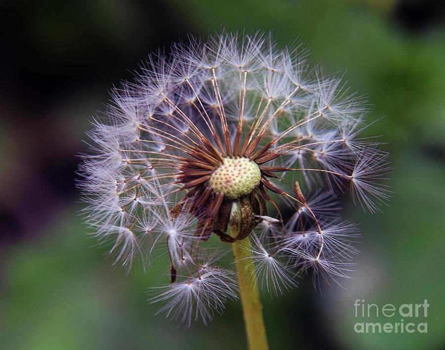 Flowers Photograph - Weed Seeds by Elvira Ladocki