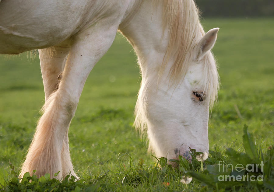 Horse Photograph - White Horse by Angel Ciesniarska