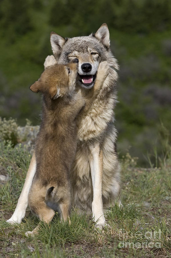 Wolf Cub Begging For Food Photograph by Jean-Louis Klein ...