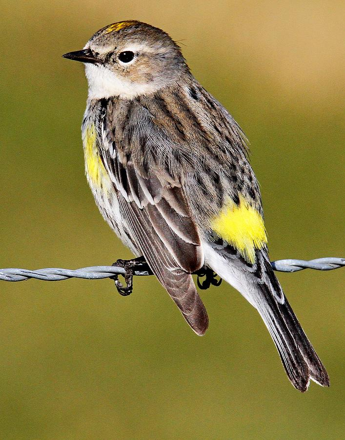 Yellow-rumped Warbler by Ira Runyan