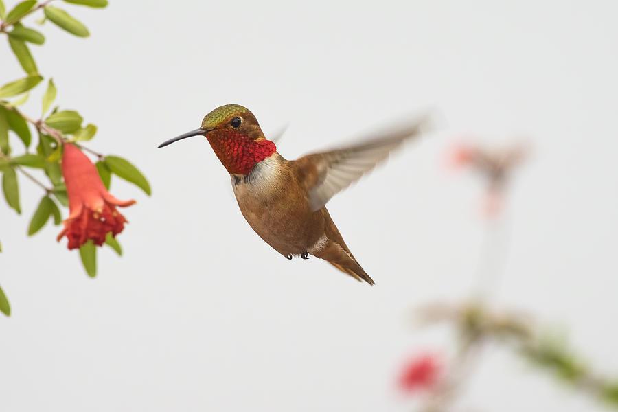 Allen's Photograph - Allens Hummingbird by Mike Herdering