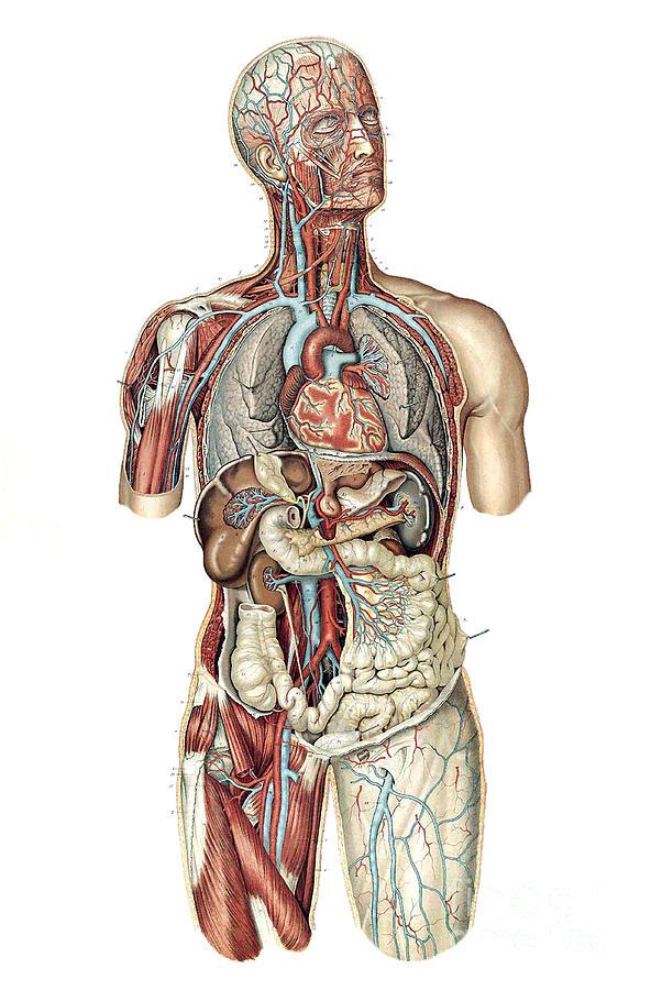Anatomie Du Corps Humain anatomie du corps humain, laskowski photographscience source