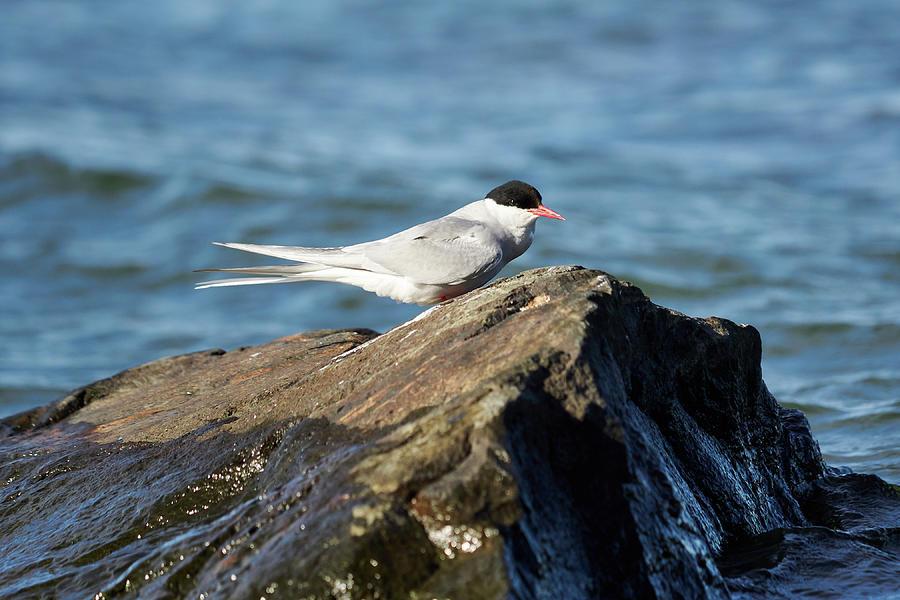 Nokia Photograph - Arctic Tern by Jouko Lehto