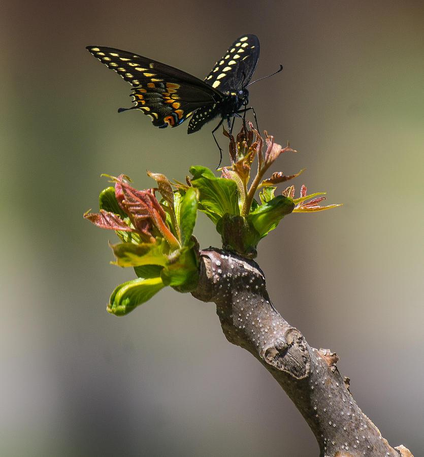 Butterfly Photograph - 5 Butterflies - Butterfly 4 by Martin Jacobvitz