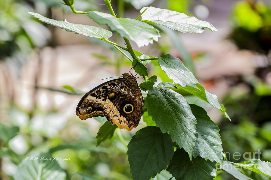 Owl Butterfly by Richard J Thompson