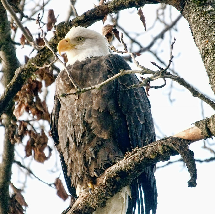 Eagle Photograph - Eagle In A Tree by Clarence Alford
