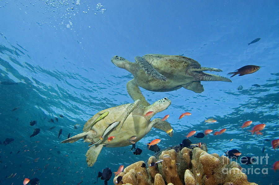 Blue Photograph - Green Sea Turtle by Dave Fleetham - Printscapes