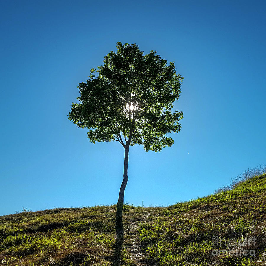 Blue Sky Photograph - Isolated Tree by Bernard Jaubert