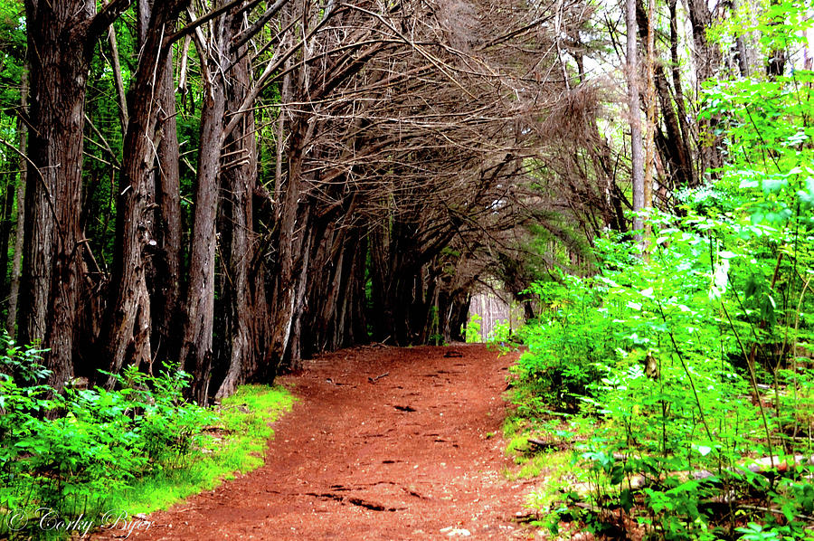 Makawao Forest Maui Photograph by Corky Byer