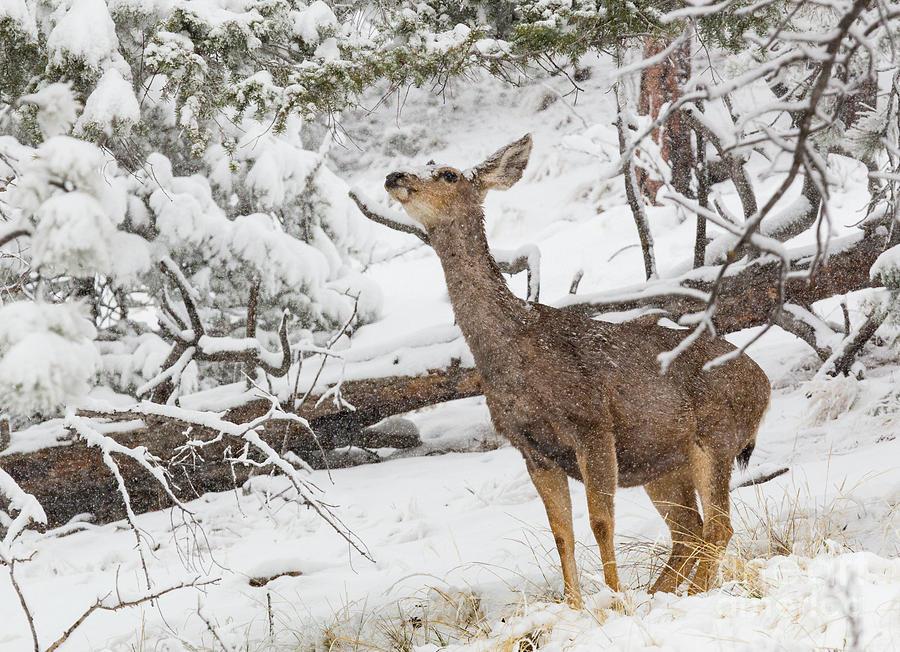 Mule Deer In Heavy Snowfall Photograph