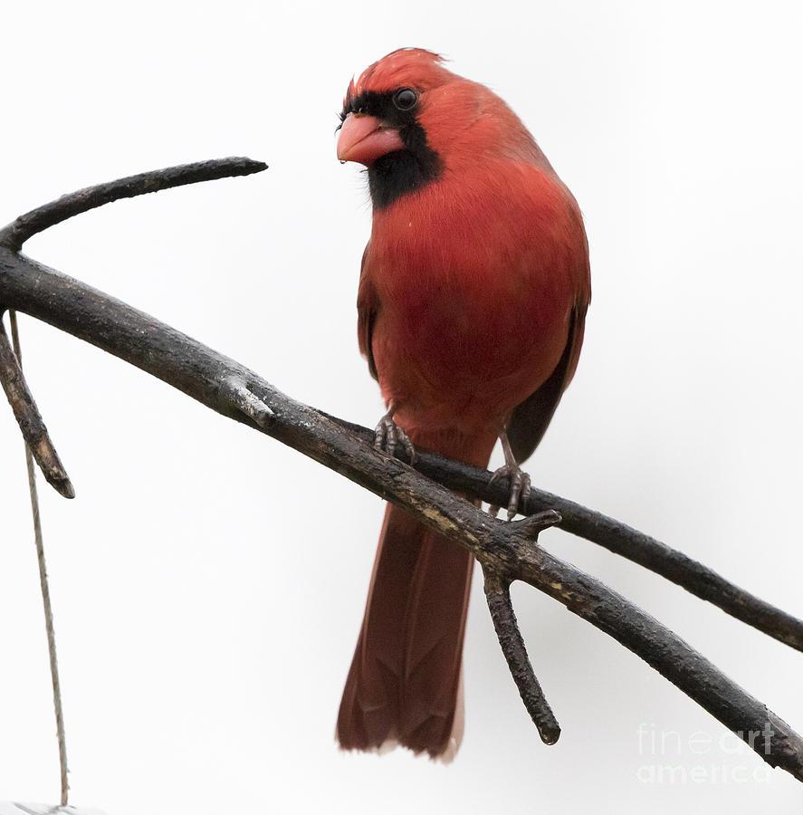 Canon Photograph - Northern Cardinal by Ricky L Jones