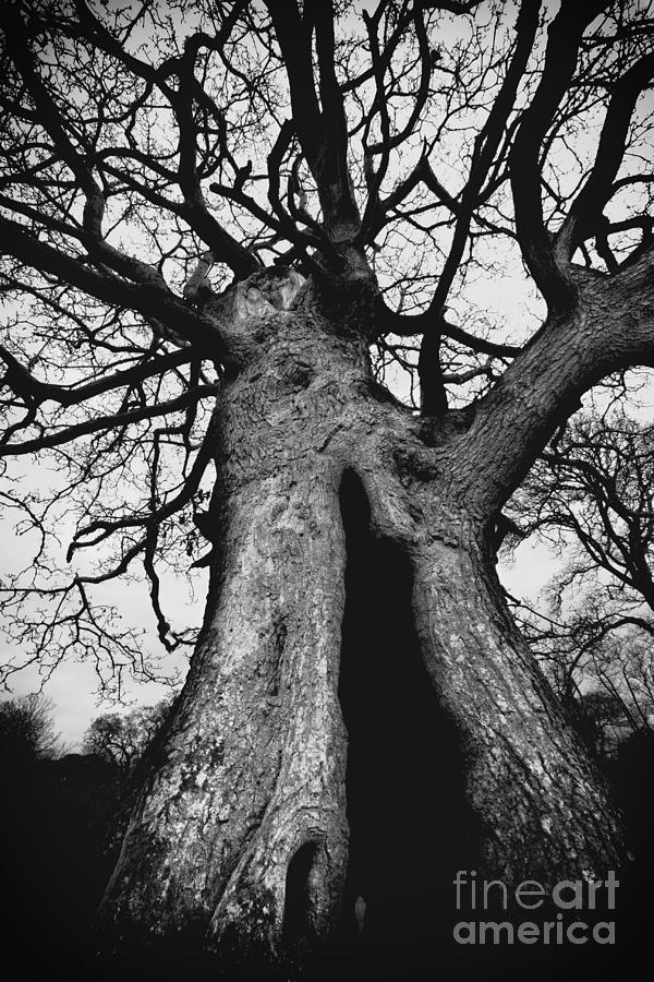 Old Photograph - Old Tree by Ulisse Bart
