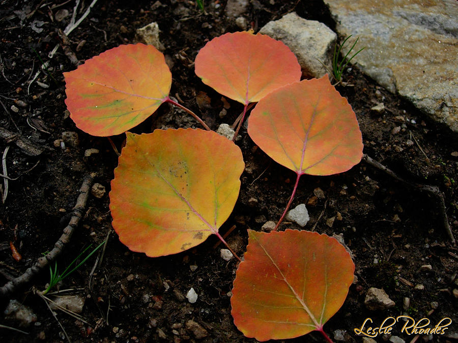 Leslie Rhoades Photograph - 5 Oranges by Leslie Rhoades