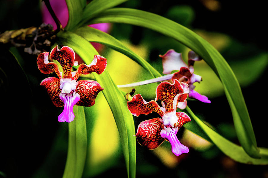 Orchid Photograph - Orchid by David Creagh
