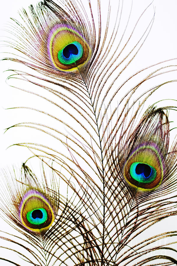 Abstract Photograph - Peacock Feathers by Mary Van de Ven - Printscapes