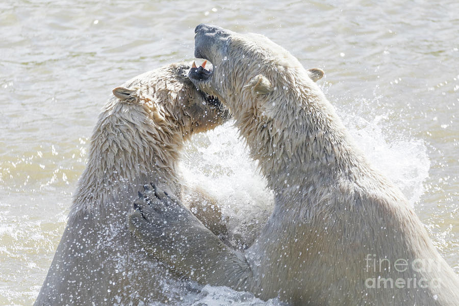 Adult Photograph - Polar Bear by Shaun Wilkinson