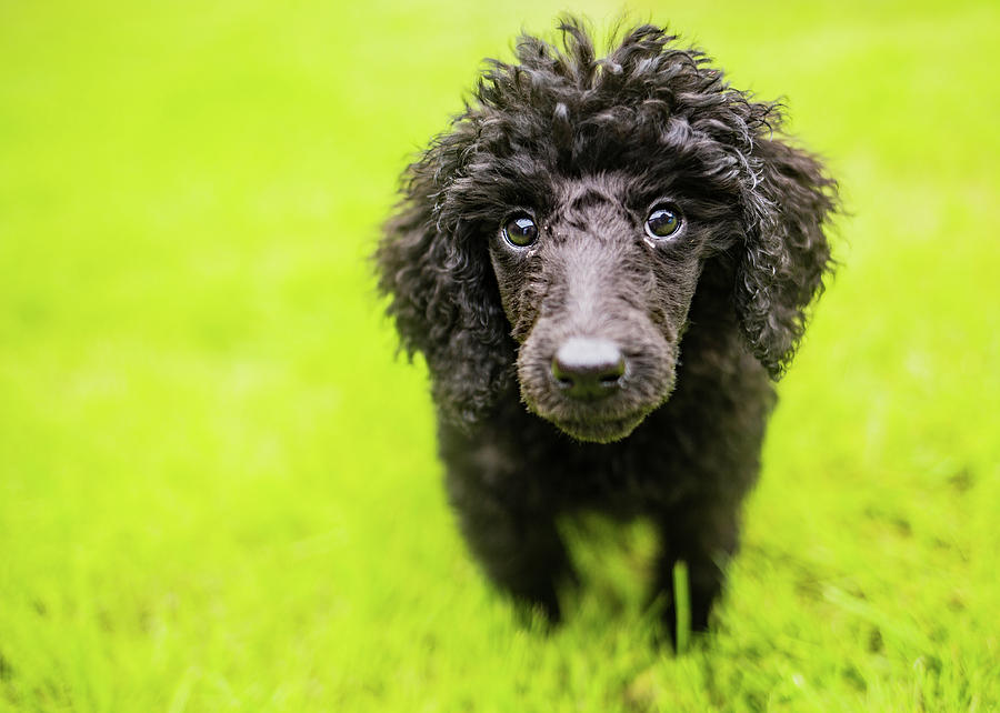 Black Poodle Photograph - Poodle Puppy by Ed James