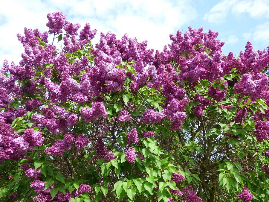 Purple Lilac Bush Photograph