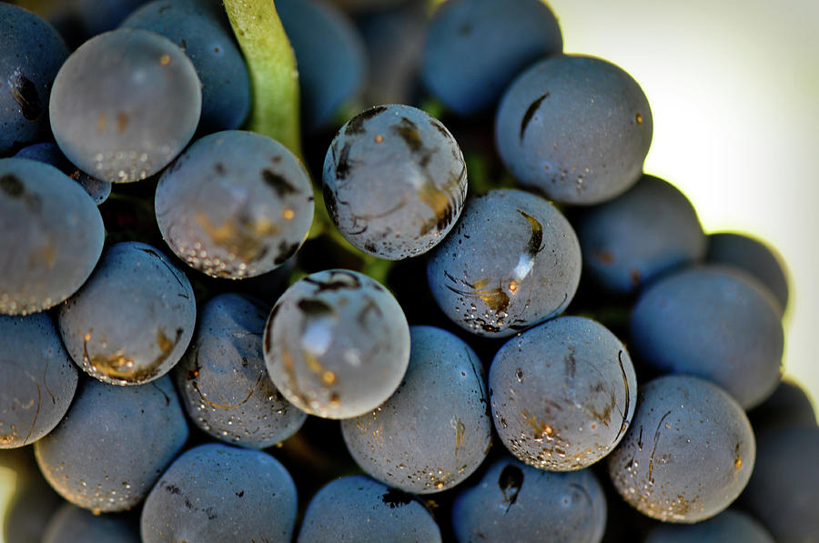Green Photograph - Red Grapes by Brandon Bourdages