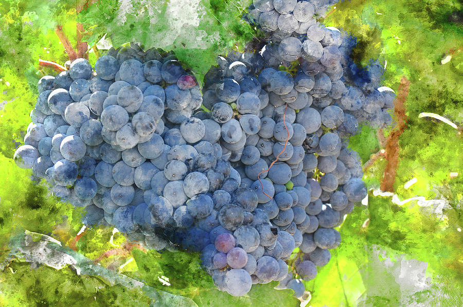 Red Wine Grapes on the Vine by Brandon Bourdages