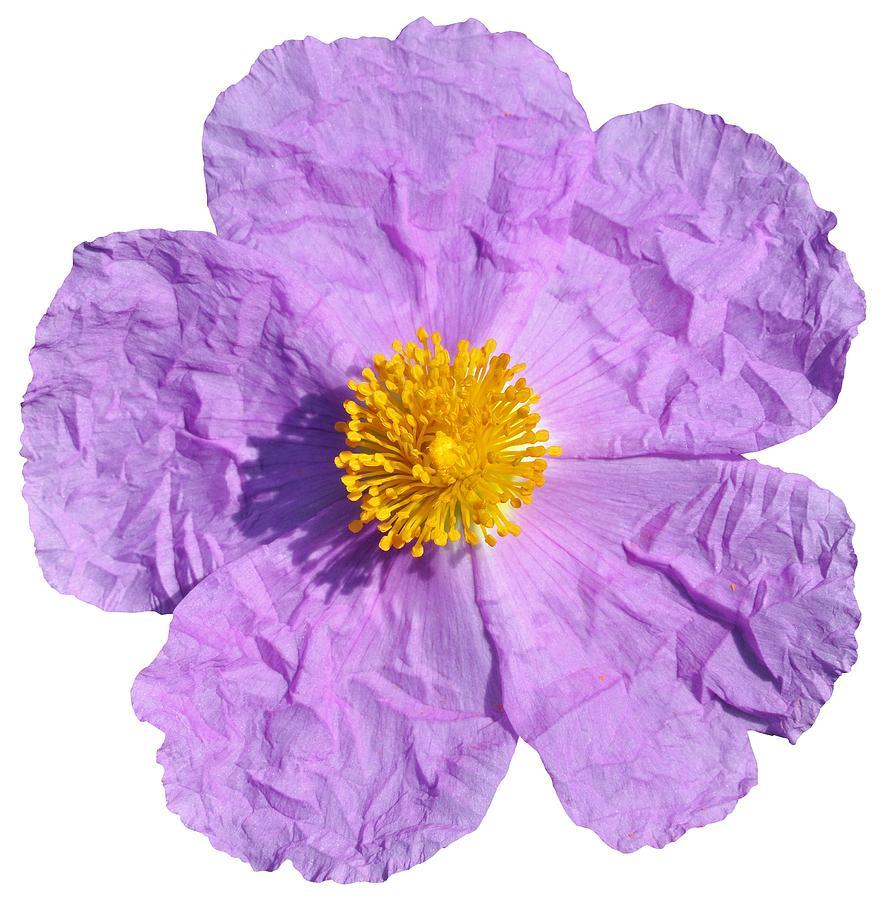 Clothing Photograph - Rockrose Flower by George Atsametakis