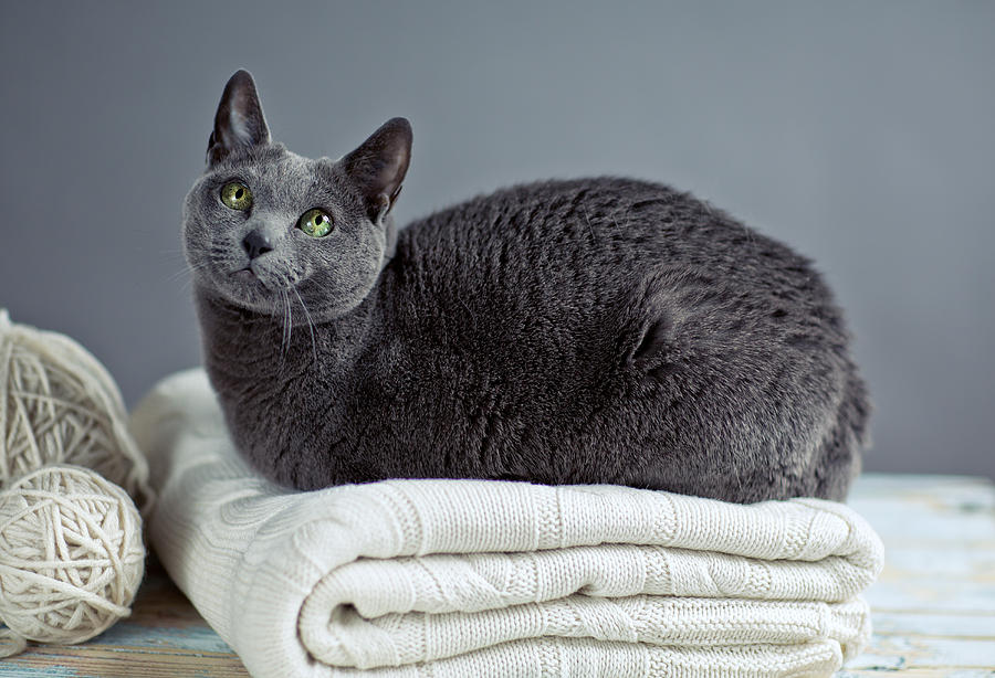 Russian Blue Photograph