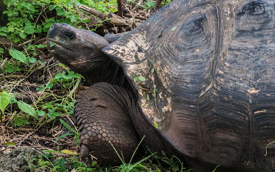 Tortoise Photograph - Santa Cruz Tortoise by Harry Strharsky