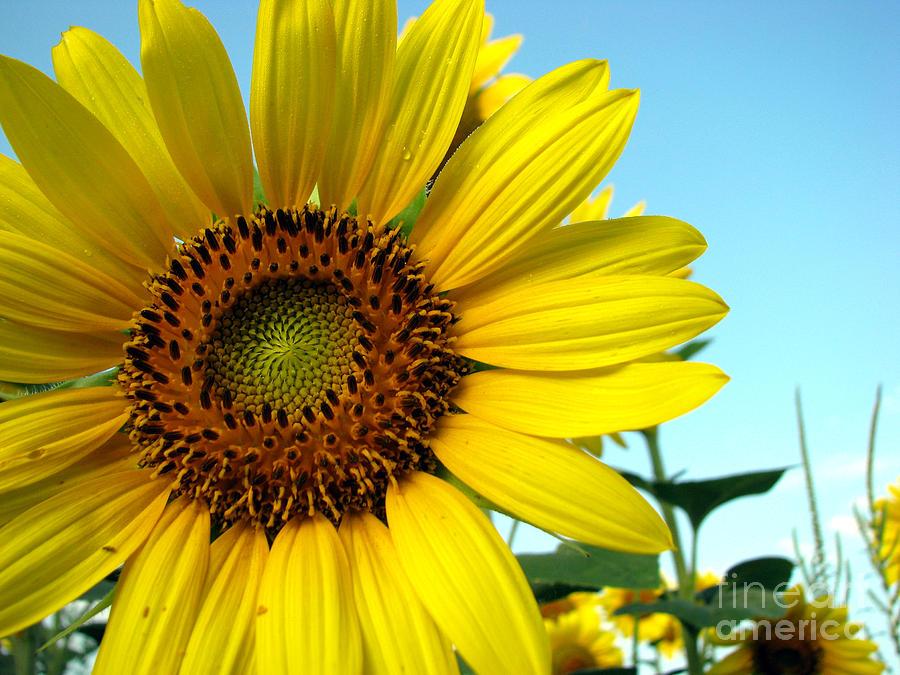 Sunflowers Photograph - Sunflower Series by Amanda Barcon