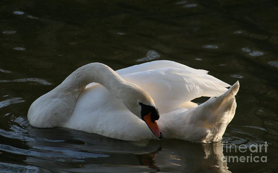 Nature Photograph - Swan Lake Story by Valia Bradshaw