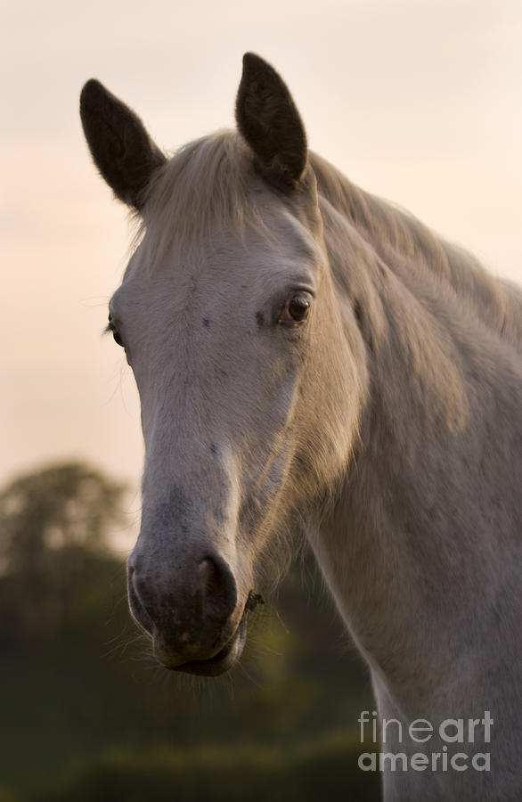 Horse Photograph - The Horse Portrait by Angel  Tarantella