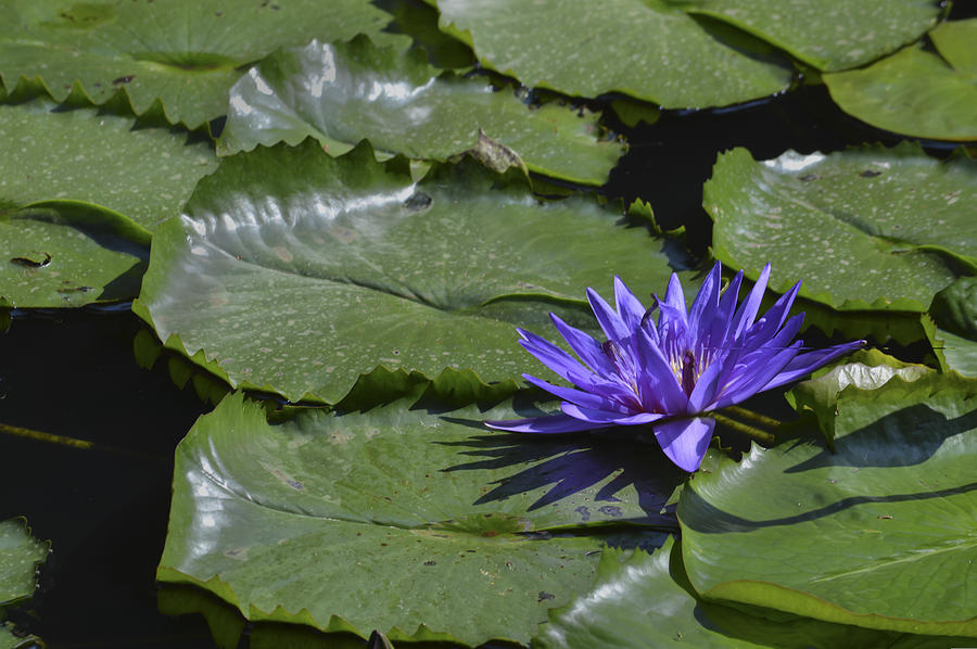 Water Lilies Photograph - Water Lilies by Linda Geiger