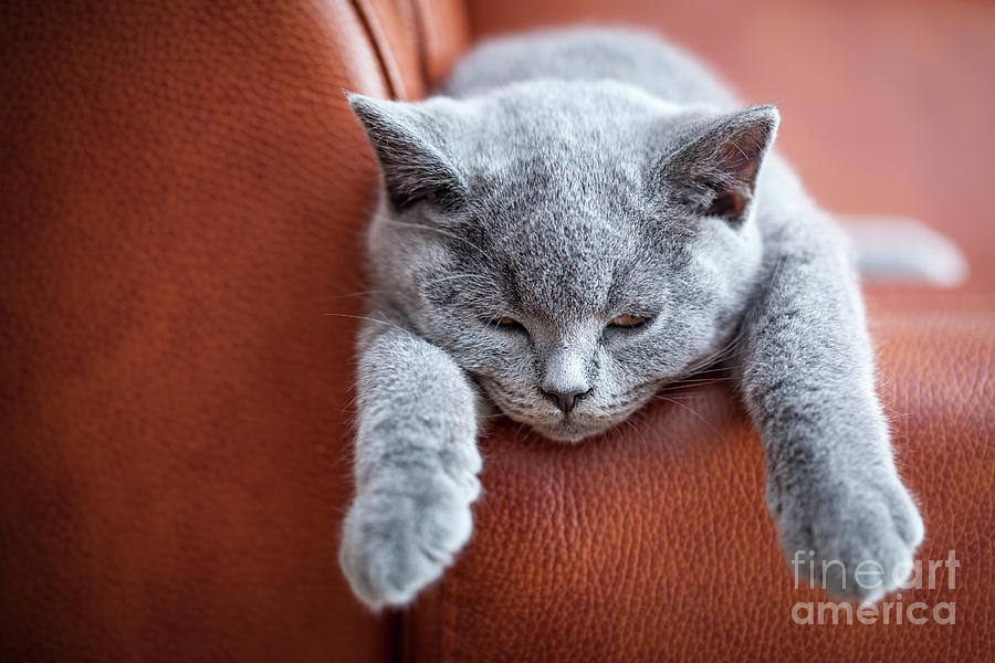 Cat Photograph - Young Cute Cat Resting On Leather Sofa. The British Shorthair Kitten With Blue Gray Fur by Michal Bednarek