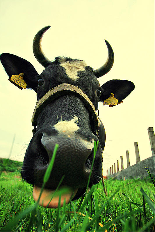 Cow Photograph - 5903 Salutes The Beetle by Raluca Mateescu