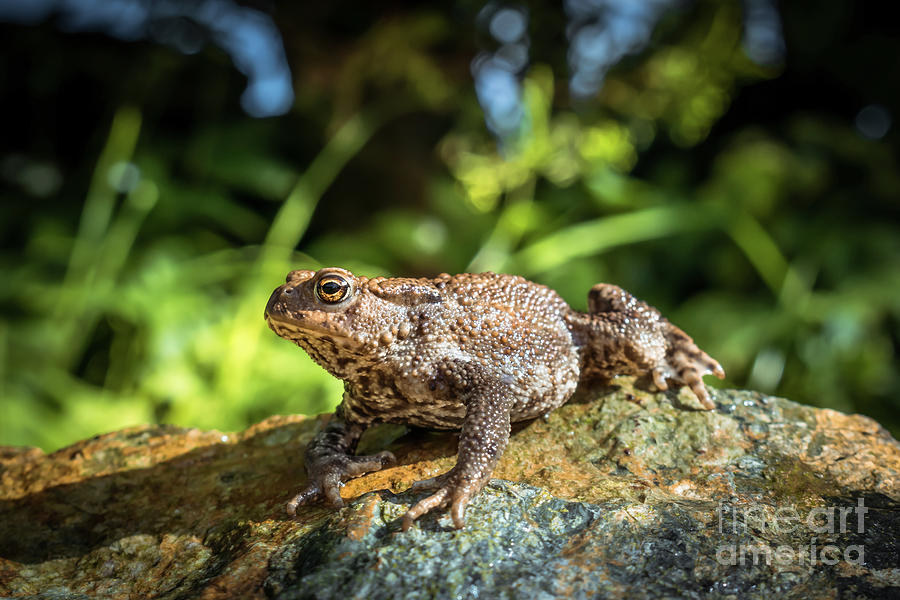 Background Photograph - Amphibian, Common British Toad / Frog by Jason Jones