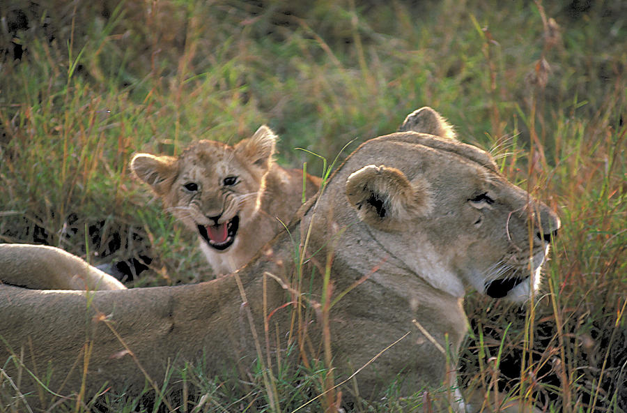 Angry Photograph - Angry Lion Cub by Carl Purcell
