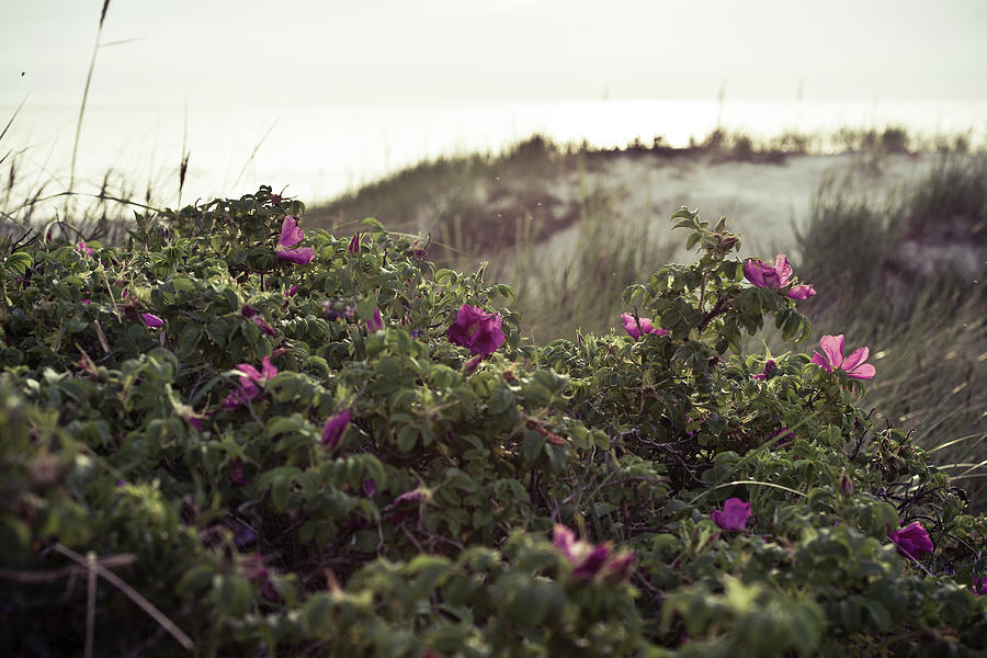 Artist Photograph - Rose Bush And Dunes by Michael Maximillian Hermansen