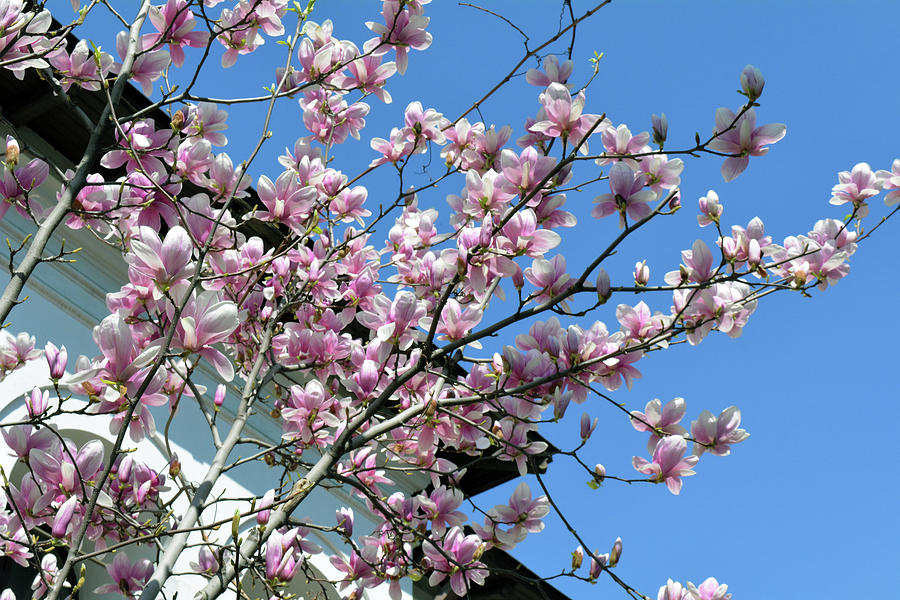 Blooming Magnolia Tree In Spring Photograph By Oana Unciuleanu