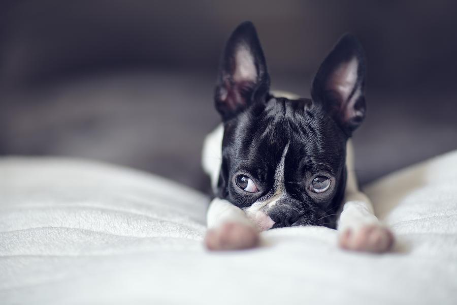 Cute Photograph - Boston Terrier Puppy by Nailia Schwarz