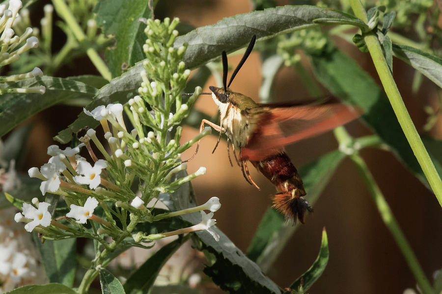 Moth Photograph - Clearwing Hummingbird Moth by Clifford Pugliese