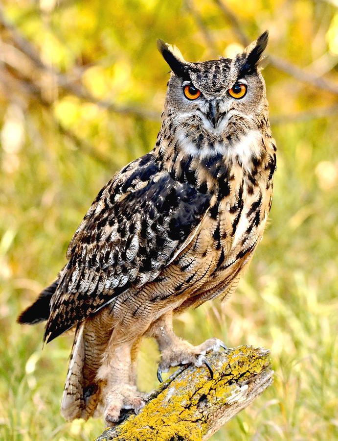 Eurasian Eagle Owl Photograph