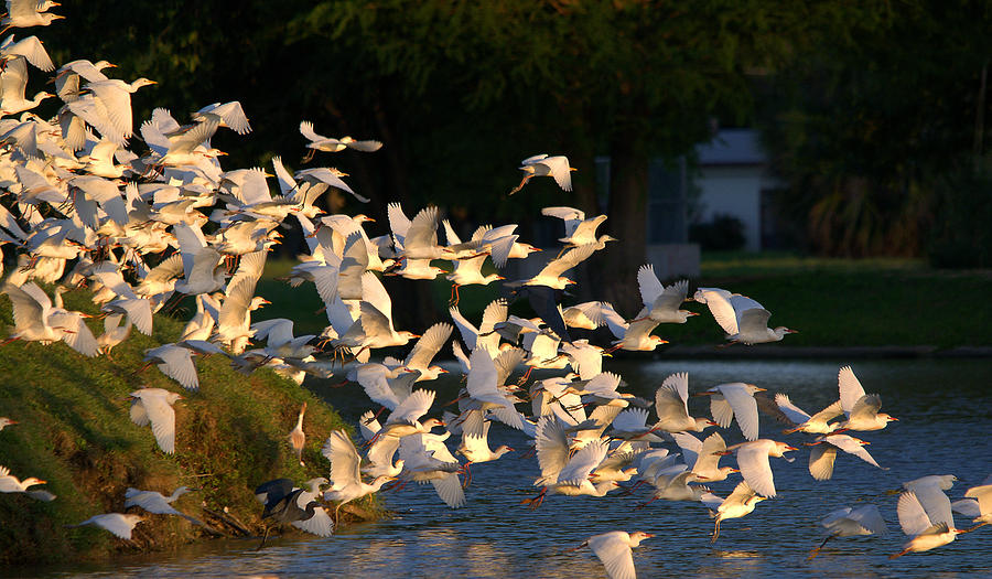 Flock Of Egrets And Herons In Flight Photograph