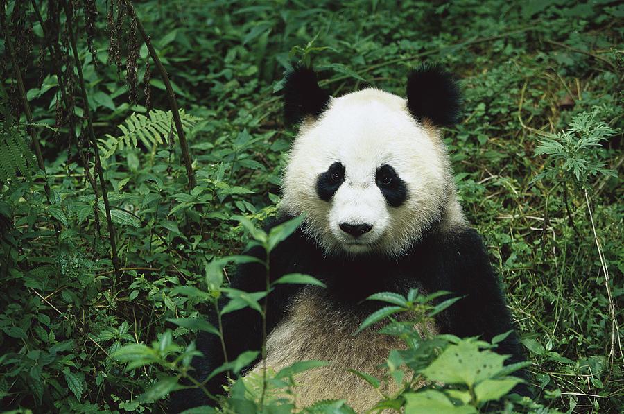 Mp Photograph - Giant Panda Ailuropoda Melanoleuca by Cyril Ruoso