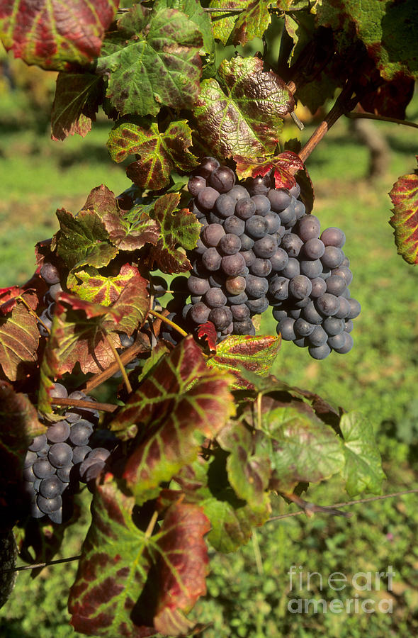 Winegrowing Photograph - Grapes Growing On Vine by Bernard Jaubert