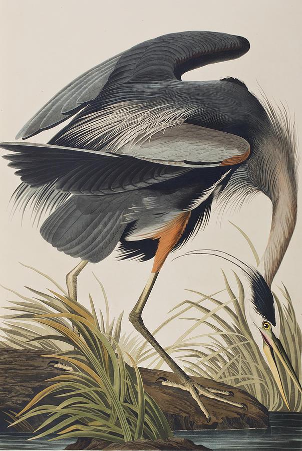 Great Blue Heron Painting By John James Audubon