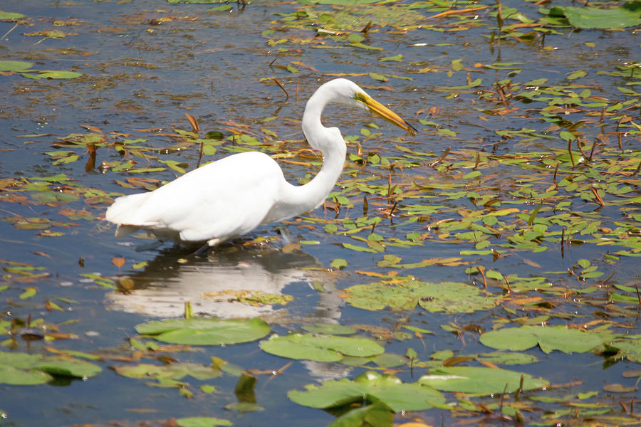 Great Egret Photograph - Knee Deep by Linda Kerkau