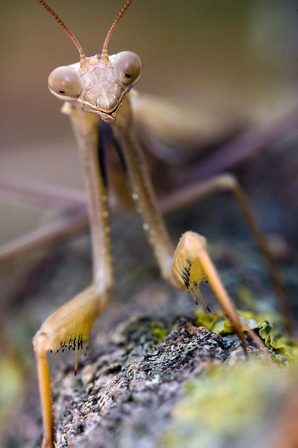 Mantis Photograph by Andre Goncalves