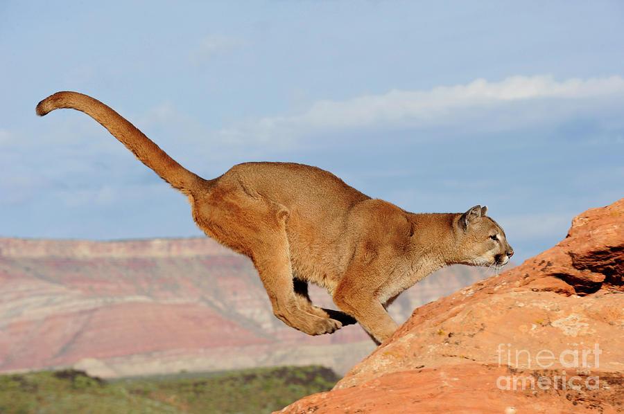 Lion Photograph - Mountain Lion by Dennis Hammer