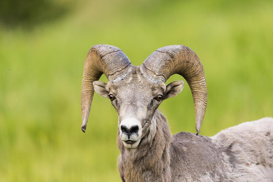 Rocky Mountain Big Horned Sheep Photograph