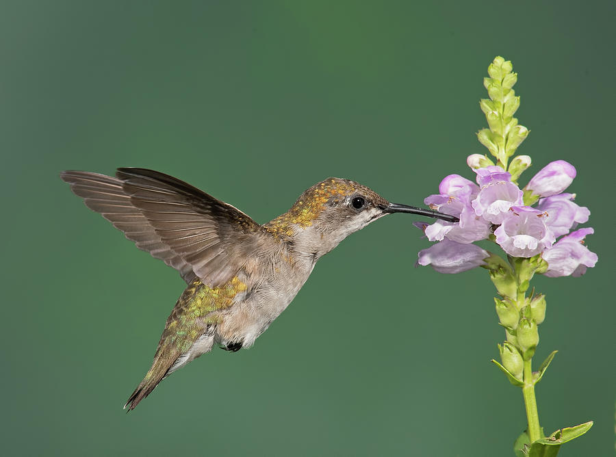 Ruby-throated Hummingbird by Jim Zablotny