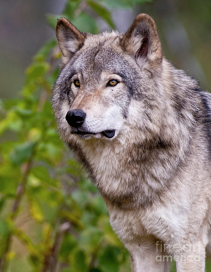 Wildlife Photographer Photograph - Timber Wolf by Michael Cummings